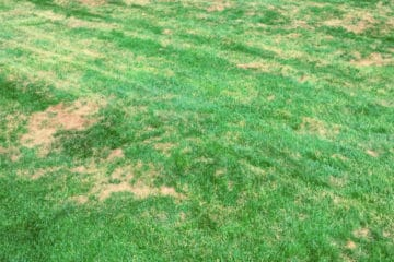 Lawn damage caused by fungus
