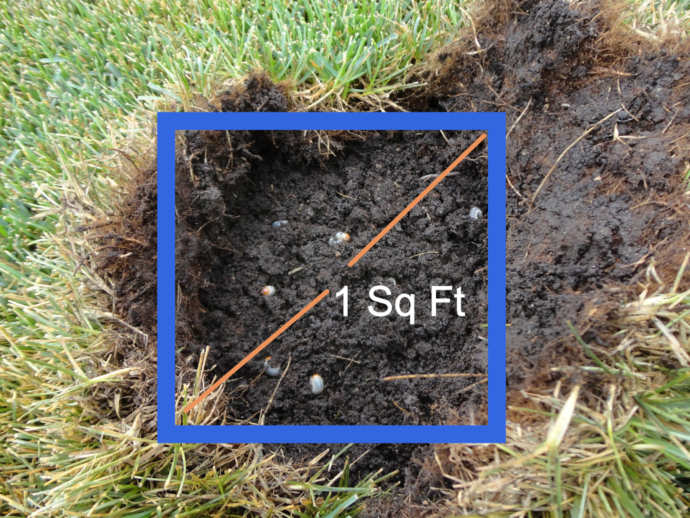 How to test for lawn grubs